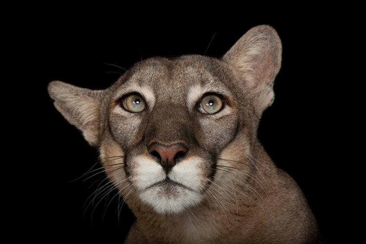 ANI019-00271: A federally endangered Florida panther (Puma concolor coryi) named Lucy at Tampa's Lowry Park Zoo