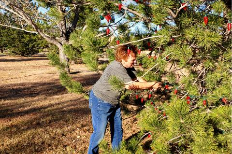 Canadian Chamber of Commerce President Sherye Talley wraps the lower branches of a tree with Christmas lights, while Dawn Dial goes up in a lift to engineer the upper branches.